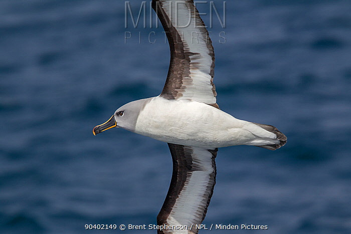 Adult Grey-headed albatross (Thalassarche chrysostoma) in flight showing the underwing and head and bill pattern Off South Georgia, South Atlantic January Endangered species  -  Brent Stephenson/ npl