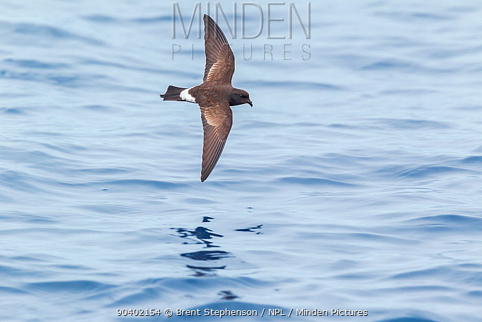 New Zealand storm-petrel (Oceanites maoriana) in flight low over the sea showing the upperwing pattern Off the Three Kings, Far North, New Zealand, March Critically endangered  -  Brent Stephenson/ npl