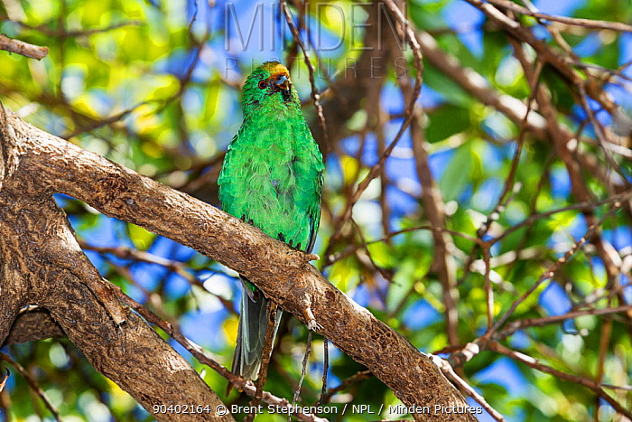 Adult Orange-fronted, Malherbes parakeet (Cyanoramphus malherbi) with worn plumage, perched on a branch in the low canopy Blumine Island, Marlborough Sounds, New Zealand, February Critically endangered  -  Brent Stephenson/ npl