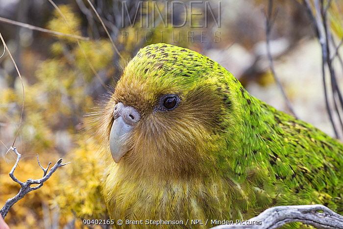 Sinbad the male Kakapo (Strigops habroptilus) portrait, Codfish Island, Stewart Island, New Zealand, January Critically endangered  -  Brent Stephenson/ npl