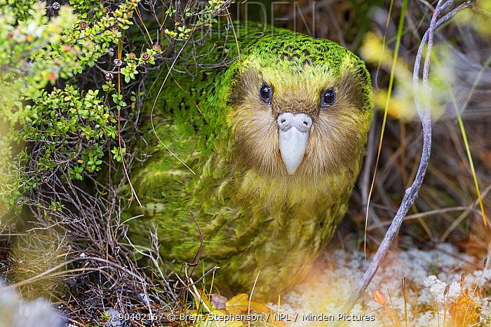 Sinbad the male Kakapo (Strigops habroptilus) curiously peering from the bushes during the day Codfish Island, Stewart Island, New Zealand, January Critically endangered  -  Brent Stephenson/ npl