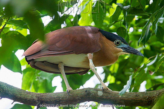 Adult Nankeen night-heron (Nycticorax caledonicus australasiae) perched in a tree amongst leaves Labuan Bird Park, Sabah, Borneo April Captive  -  Brent Stephenson/ npl