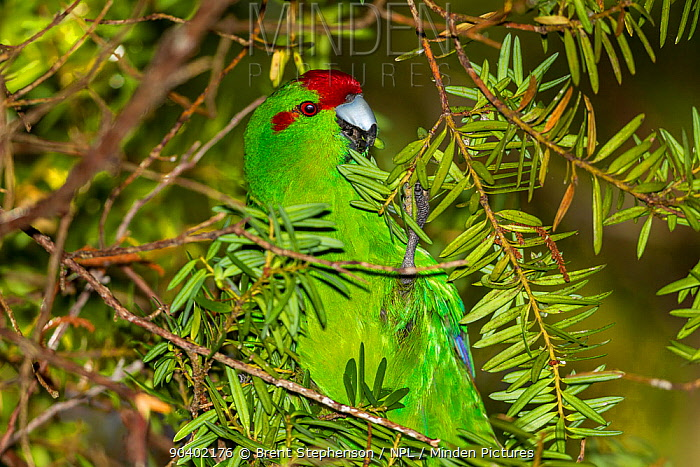 Adult Red-crowned parakeet (Cyanoramphus novaezelandiae) foraging on totara (Podocarpus) fruits in the sub-canopy Ulva Island, Stewart Island, New Zealand, February  -  Brent Stephenson/ npl