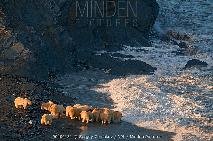 Polar bear (Ursus maritimus) group feeding on carcass on beach, Wrangel Island, Far Eastern Russia, September  -  Sergey Gorshkov/ npl