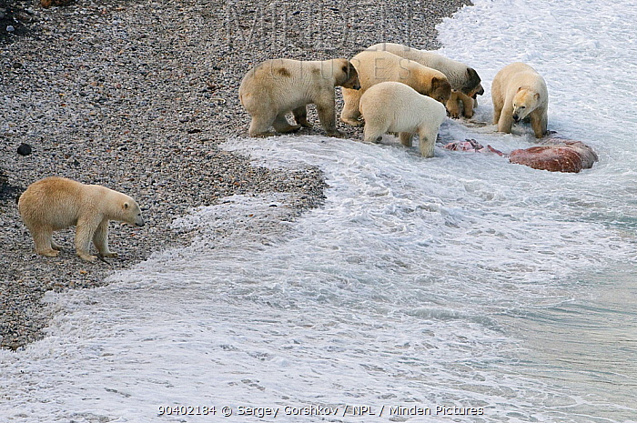 Polar bear (Ursus maritimus) feeding on carcass on beach, Wrangel Island, Far Eastern Russia, September  -  Sergey Gorshkov/ npl