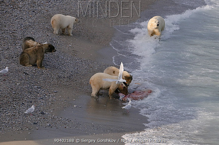 Polar bears (Ursus maritimus) on beach with Walrus carcass, Wrangel Island, Far Eastern Russia, September  -  Sergey Gorshkov/ npl