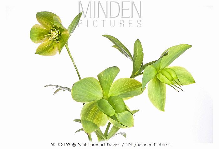 Green Hellebore (Helleborus viridis) with seed capsules, the Il Sasseto near Orvieto, Italy March  -  Paul Harcourt Davies/ npl