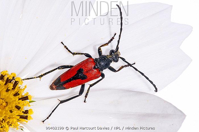 Longicorn Beetles (Stenurella bifasciata) Italy, July  -  Paul Harcourt Davies/ npl