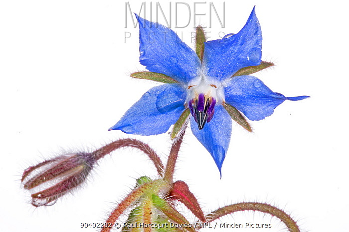 Borage (Borago officinalis) flower in garden, Podere Montecucco, Orvieto, Umbria, Italy, May  -  Paul Harcourt Davies/ npl