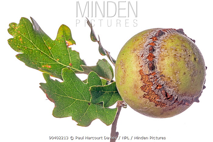 Oak Gall caused by Gall wasp (Andricus quercustozae) Podere Montecucco, Orvieto, Umbria, Italy, September  -  Paul Harcourt Davies/ npl