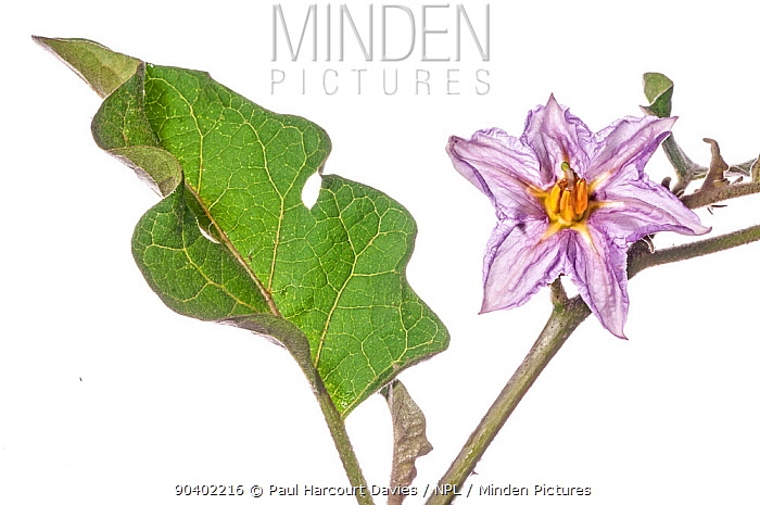 Auberginevegetable (Solanum melongena) flower, Podere Montecucco, Orvieto, Umbria, Italy, October  -  Paul Harcourt Davies/ npl
