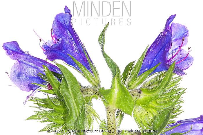 Purple vipers bugloss (Echium plantagineum) wild in garden at Podere Montecucco Orvieto, Umbria, Italy, May  -  Paul Harcourt Davies/ npl