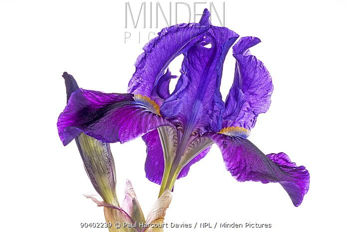 Twin-flowered iris (Iris bicapitata) flower, purple morph, found above 600m elevation Endemic to Gargano, Italy April  -  Paul Harcourt Davies/ npl