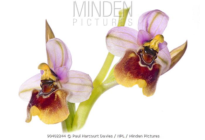Sawfly Ophrys flower (Ophrys tenthredinifera) slightly aberrant pattern, possible hybrid, near Monte St Angelo, Gargano, Italy  -  Paul Harcourt Davies/ npl