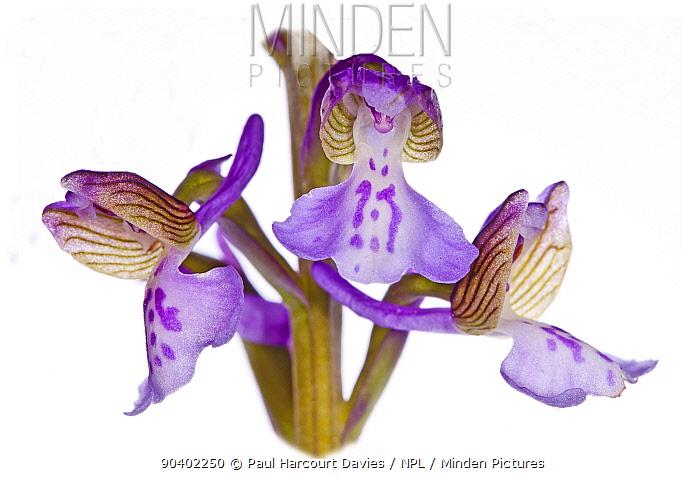 Green-winged Orchid (Anacamptis morio picta) in flower, Torre Alfina, Viterbo, Lazio, Italy, April  -  Paul Harcourt Davies/ npl