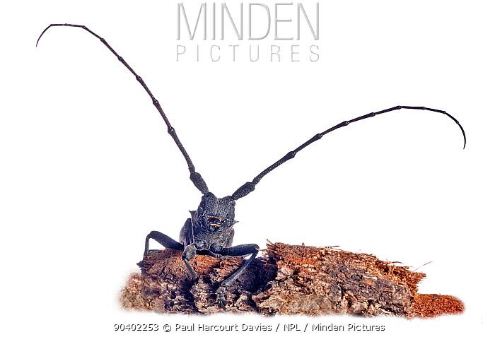 Longhorn Beetle (Cerambyx scopolii) emerging from woodpile near Orvieto Italy, March  -  Paul Harcourt Davies/ npl