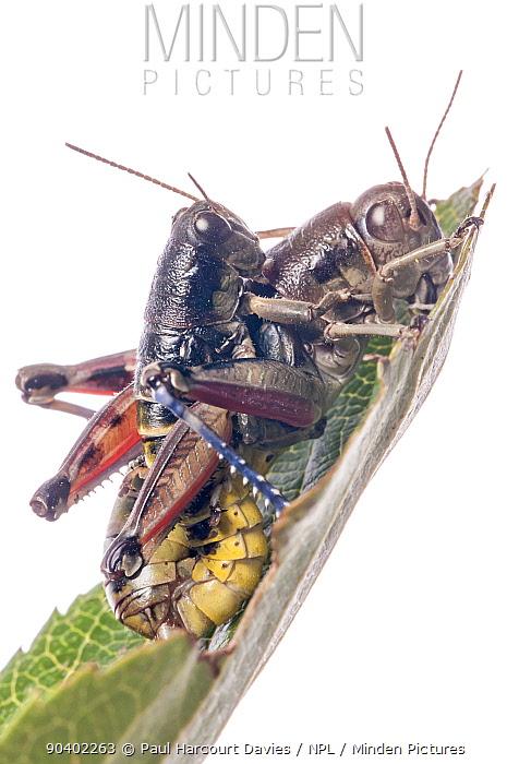 Brown Mountain Grasshoppers (Podisma pedestris) mating,Terminillo, near Terni, Lazio, Italy September  -  Paul Harcourt Davies/ npl