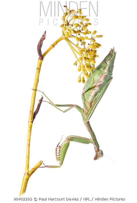 Eyed Mantis (Iris oratoria) female, Pescia Romana, near Orbetello, Lazio, Italy, October  -  Paul Harcourt Davies/ npl