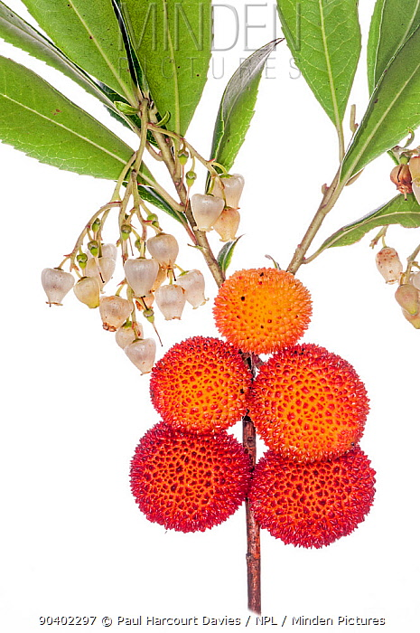 Strawberry Tree (Arbutus andrachne) fruit, near Orvieto, Italy, October  -  Paul Harcourt Davies/ npl
