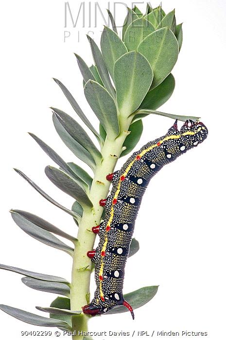 Spurge Hawkmoth caterpillar (Hyles euphorbiae) on one of its foodplants Euphorbia myrsinites, Gargano, Italy, October  -  Paul Harcourt Davies/ npl