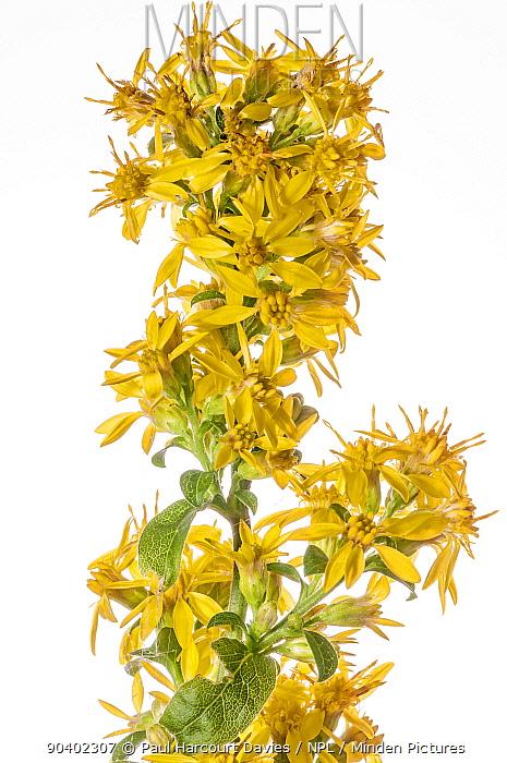 Golden Rod (Solidago virgaurea) in flower, Mount Terminillo, Lazio Italy September  -  Paul Harcourt Davies/ npl