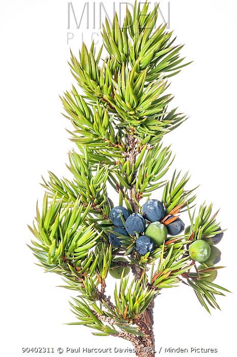 Dwarf Juniper (Juniperus communis alpina) with berries, Italy, September  -  Paul Harcourt Davies/ npl