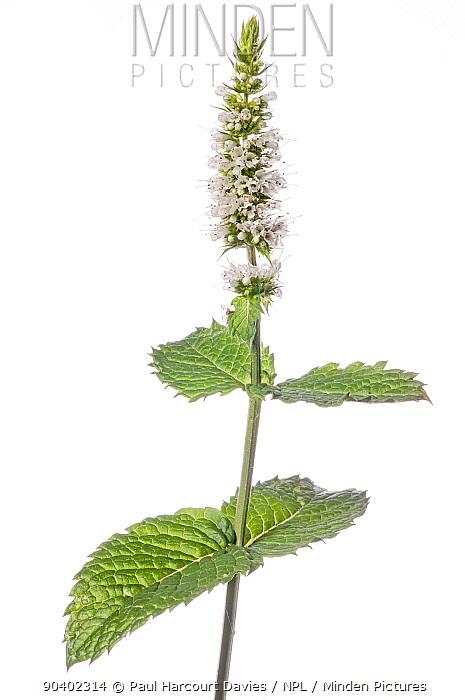 Basil (Ocimum basilicum) in flower, Podere Montecucco, Orvieto, Umbria, Italy, August  -  Paul Harcourt Davies/ npl
