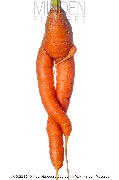 Carrot (Daucus carota ssp sativus) unusual shape, Podere Montecucco Orvieto, Umbria Italy, August  -  Paul Harcourt Davies/ npl