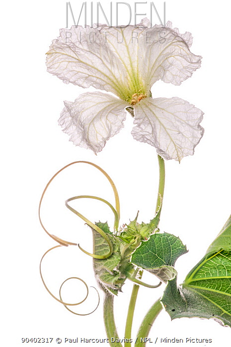 Gourd flower (Lagenaria ) cultivated species, Podere Montecucco Orvieto, Umbria, Italy, July  -  Paul Harcourt Davies/ npl
