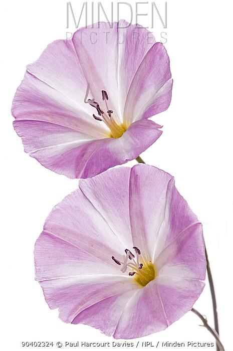 Field Bindweed (Convolvulus arvensis) in flower, Podere Montecucco, Orvieto, Umbria, Italy, July  -  Paul Harcourt Davies/ npl