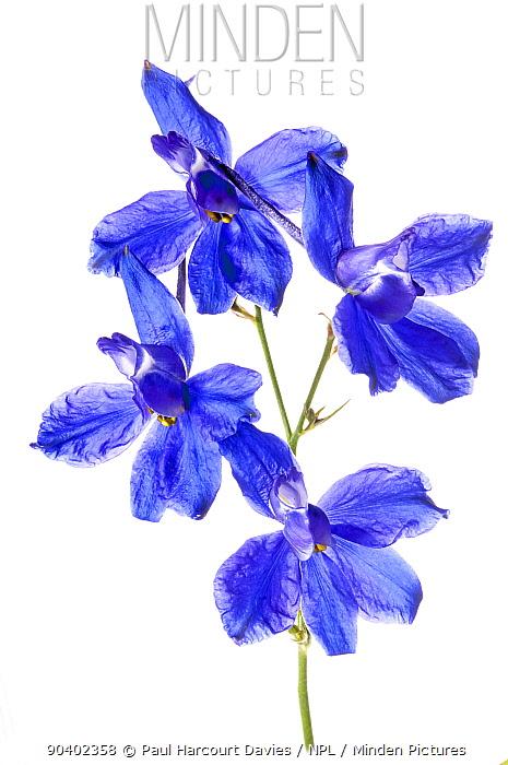 Forking Larkspur (Consolida regalis) in flower, near Orvieto, Umbria, Italy, June  -  Paul Harcourt Davies/ npl