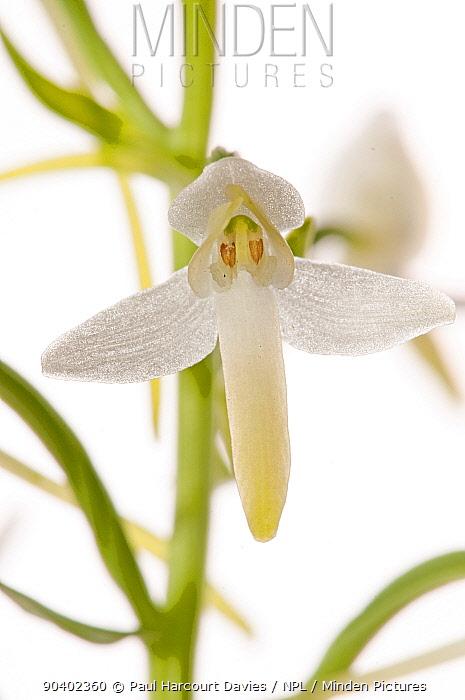 Lesser butterfly orchid (Platanthera bifolia) in flower, Villa Lago, Terni, Umbria, Italy, June  -  Paul Harcourt Davies/ npl