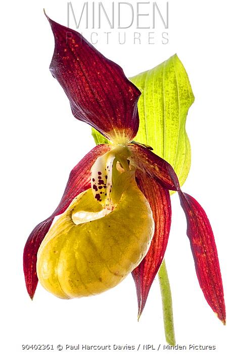 Ladys slipper (Cypripedium calceolus) in flower, Camosciara Mounts, near Pescasseroli, Abruzzo, Italy, June  -  Paul Harcourt Davies/ npl