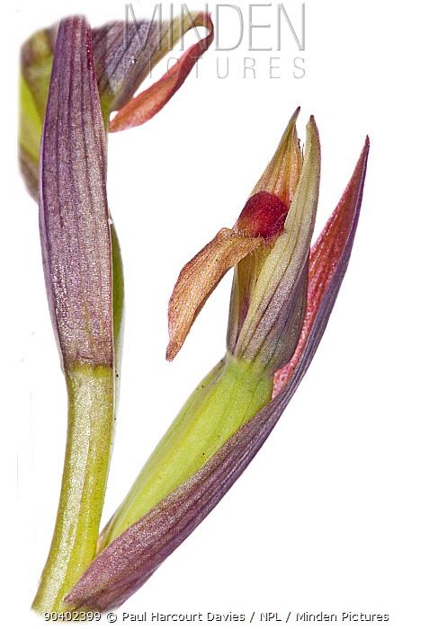 Small-flowered Serapias (Serapias parviflora) in flower, near Monte St Angelo, Gargano Italy, April  -  Paul Harcourt Davies/ npl