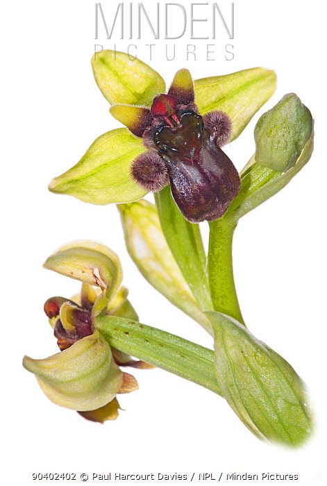 Bumble-bee orchid (Ophrys bombyliflora) in flower, near Monte St Angelo, Gargano, Italy, April  -  Paul Harcourt Davies/ npl