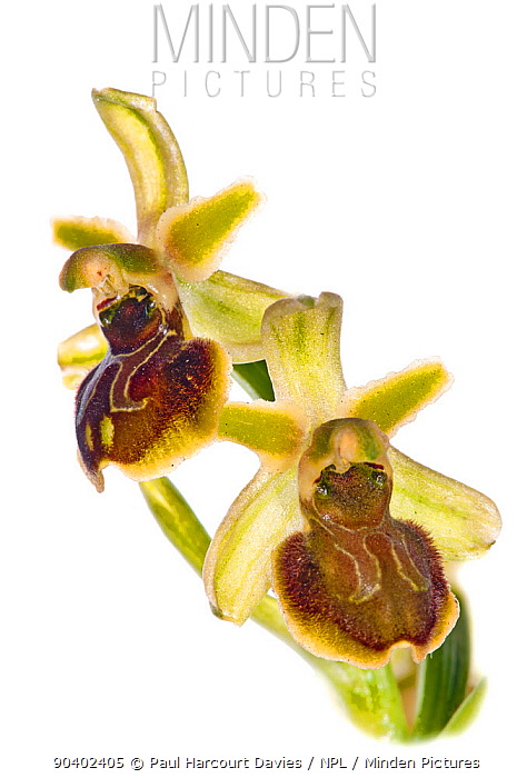 Small spider orchid (Ophrys araneola) in flower, Mount Argentario Italy, April  -  Paul Harcourt Davies/ npl