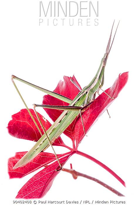 Pointed-nose grasshopper (Acrida ungarica) on flower, Orvieto, Umbria, Italy, October  -  Paul Harcourt Davies/ npl