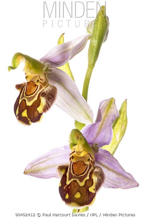 Bee Orchid (Ophrys apifera) in flower, taken near Orvieto, Umbria, Italy, June  -  Paul Harcourt Davies/ npl