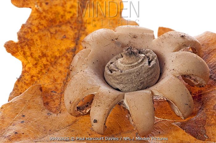 Collared earthstar fungus (Geastrum triplex) on oak leaf litter, near Sorano, Tuscany, Italy, October  -  Paul Harcourt Davies/ npl