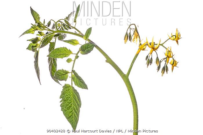 Tomato flower (Solanum lycopersicum) Podere Montecucco, Orvieto, Umbria, Italy, July  -  Paul Harcourt Davies/ npl
