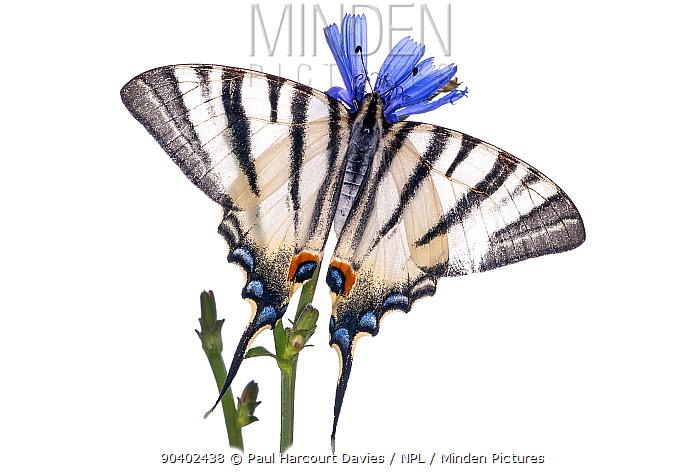 Scarce swallowtail (Iphiclides podalirius) Podere Montecucco, near Orvieto, Umbria, Italy, August  -  Paul Harcourt Davies/ npl