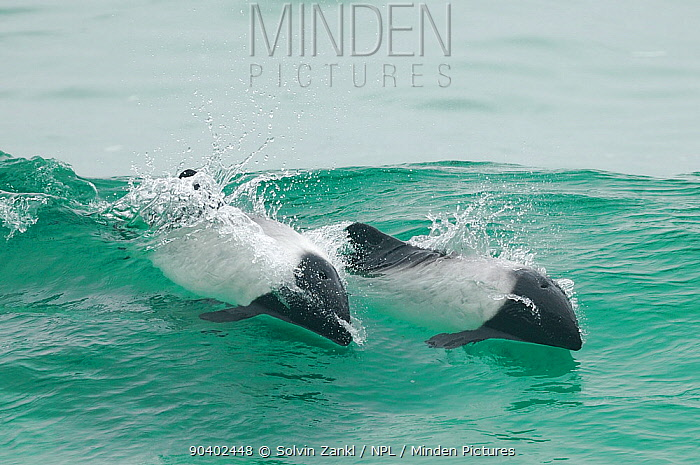 Commersons dolphins (Cephalorhynchus commersonii) wave surfing off the coast of Falkland Islands, May  -  Solvin Zankl/ npl