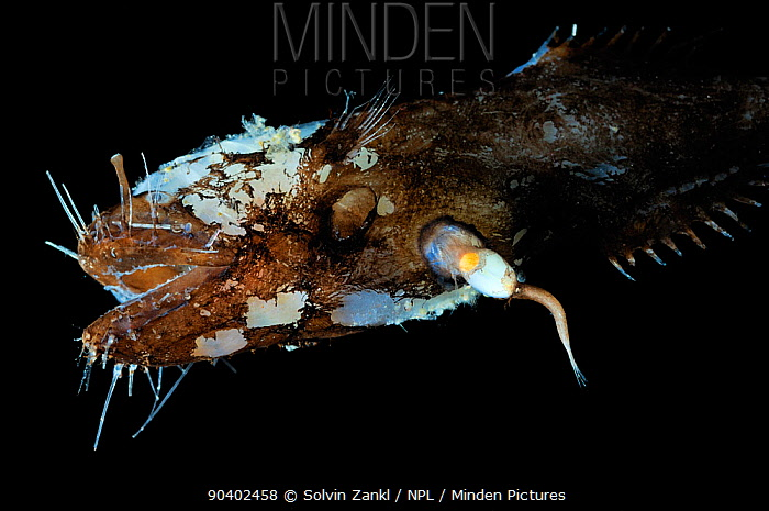 Female Toothed seadevil (Neoceratias spinifer) with male attached, captive from deep sea  -  Solvin Zankl/ npl