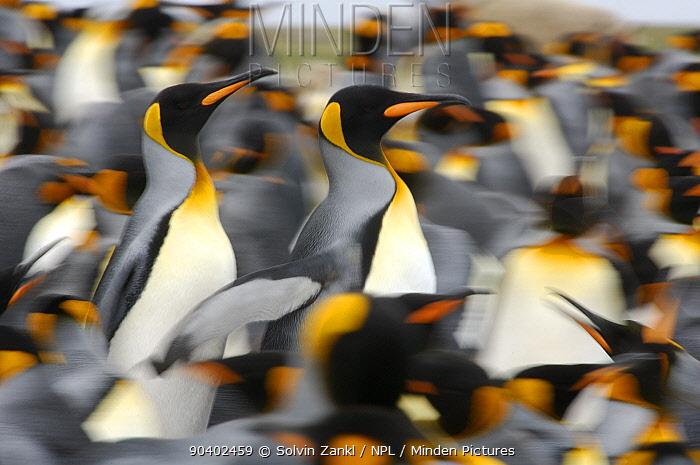 King penguins (Aptenodytes patagonicus) colony, Antarctica  -  Solvin Zankl/ npl