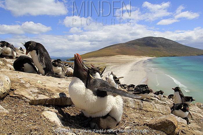 Rockhopper penguins (Eudyptes chrysocome) parent sheltering chick from the sun, Argentina  -  Solvin Zankl/ npl