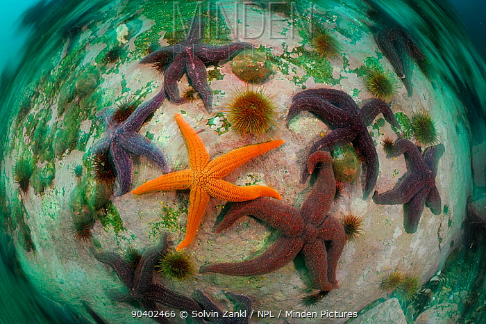 Sea stars including in the centre : Common light striated star (Stichaster striatus) surrounded by Common fjord starfish (Cosmasterias lurida), Comau Ford, Chile  -  Solvin Zankl/ npl