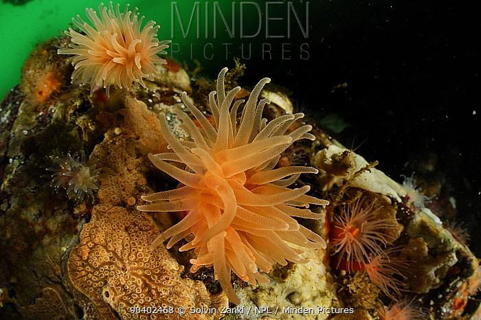 Crested cup coral (Desmophyllum dianthus) Comau Fjord, Chile  -  Solvin Zankl/ npl