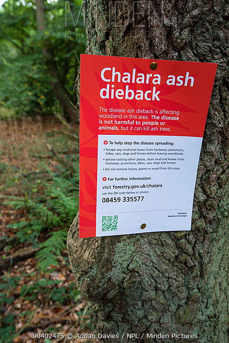 Sign for ash dieback in a woodland, disease is caused by the fungus Chalara fraxinea, Surrey, England, UK, October 2013  -  Adrian Davies/ npl
