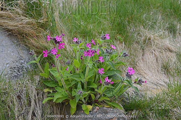 Red Campion (Silene dioica) in flower, Shetland Islands, Scotland, UK, May  -  Adrian Davies/ npl