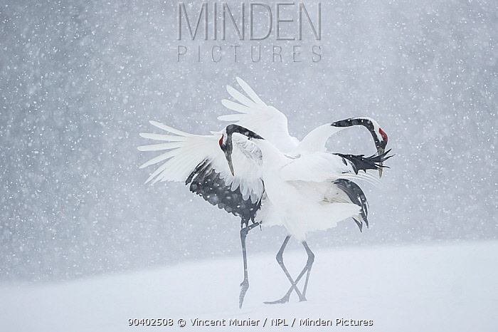 Japanese crane (Grus japonicus) pair in courtship display during snow fall, Hokkaido, Japan, February  -  Vincent Munier/ npl